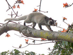 250pxpalm_civet_on_tree_detail_2